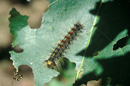 Last year, gypsy moth caterpillars hit oak and other hardwood trees in rural areas hard.
