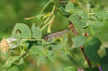 Depending on the species, plant or animal, the defoliation being done by gypsy moth caterpillars this summer can be good or bad. (istock)