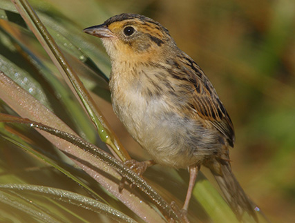 Saltmarsh sparrows have been declining at a rate of about 9 percent annually since the late 1990s. (Audubon Society)