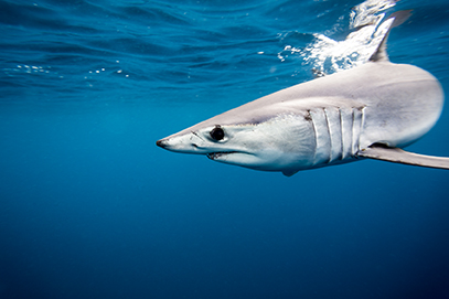 Mako sharks have a worldwide distribution, so they are among the most commonly captured shark in the finning trade. (istock)