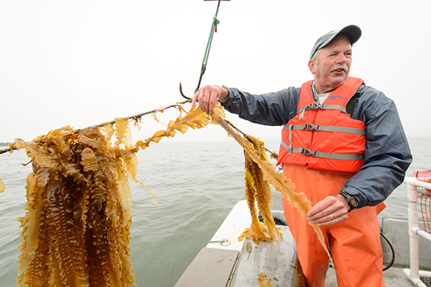University of Connecticut professor Charlie Yarish, also known as 'Capt. Seaweed,' is a leader in the emerging U.S. sea vegetable farming industry. (Peter Morenus/UConn Today photos)