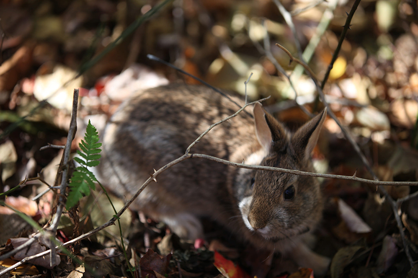 The U.S. Fish & Wildlife Service has proposed a project that would create more shrubland habitat, possibly at the expense of forestland, for such species as the New England cottontail. In Connecticut, Massachusetts and Rhode Island, three of the six states involved in the creation of the Great Thicket National Wildlife Refuge, the rabbit can legally be hunted. (Tom Barnes/USFWS)