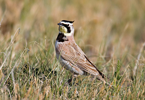 Horned larks, the only native lark in North America, begin nesting early in spring. Their 'horns' are little tufts of feathers, visible only at close range. (G. Lasley/for Audubon Society)