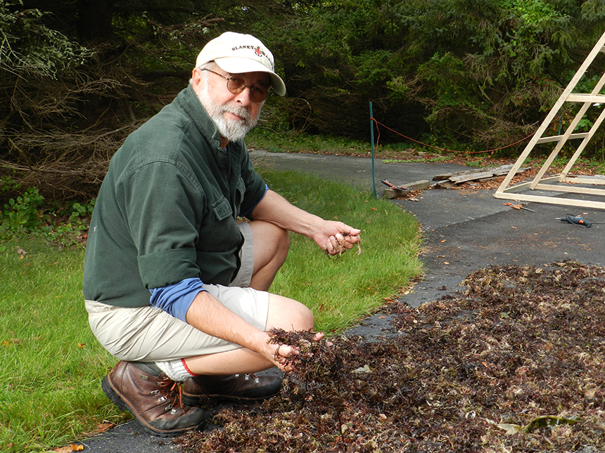 David Blaney with some Irish moss left out to dry. (Judee Burr/ecoRI News photos)