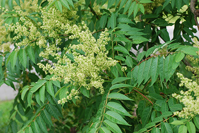 The tree of heaven, known also as stinking sumac, is an aggressive invasive species slowly taking over the United States. (USDA)