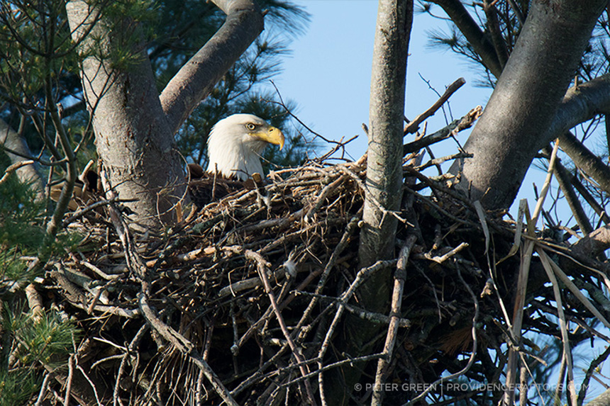Rhode Island has four nesting pairs of eagles. (Peter Green/Providence Raptors)
