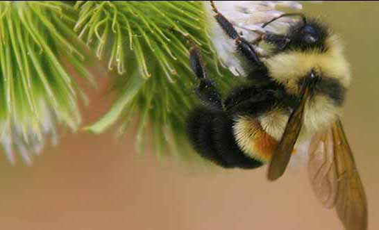 A rusty patched bumblebee. (FWS)
