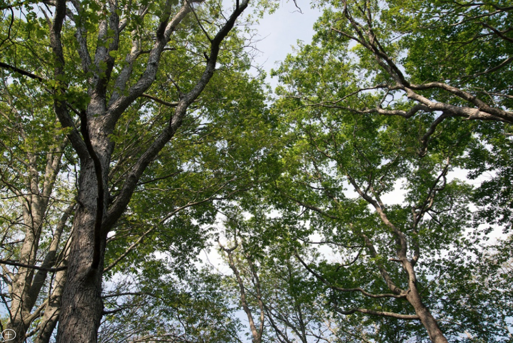Forest canopy at Dundery Brook Trail in Little Compton, R.I. (Joanna Detz/ecoRI News)