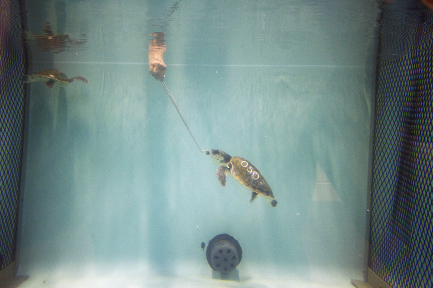 A rescued sea turtle is fed small pieces of squid and fish from the end of a long metal rod in a tank at the New England Aquarium turtle rehabilitation center in Quincy, Mass.