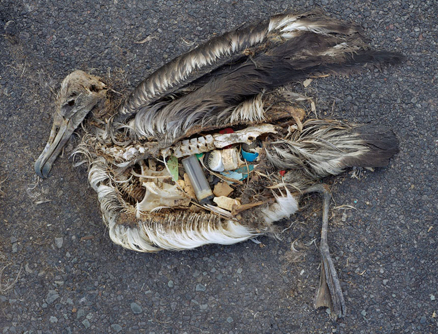 About a million sea birds, such as this albatross on Midway Atoll, are killed annually by plastic. (Chris Jordan)