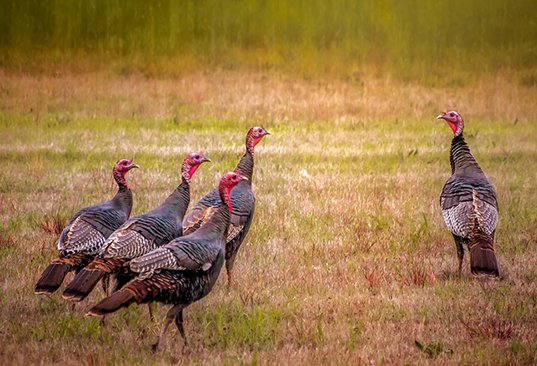 There are currently about 3,000 wild turkeys in Rhode Island. (istock)