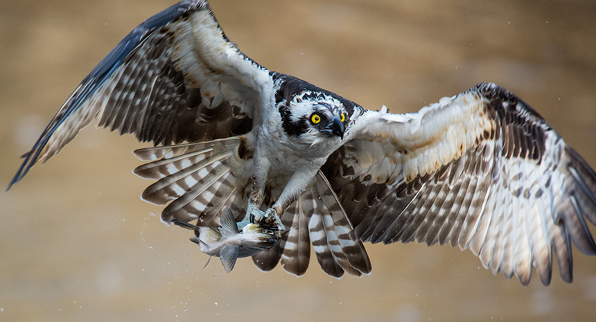 Ospreys were driven to near extinction in the 1960s and 1970s because of the effects of the pesticide DDT. (Ed Hughes/for the Audubon Society of Rhode Island)