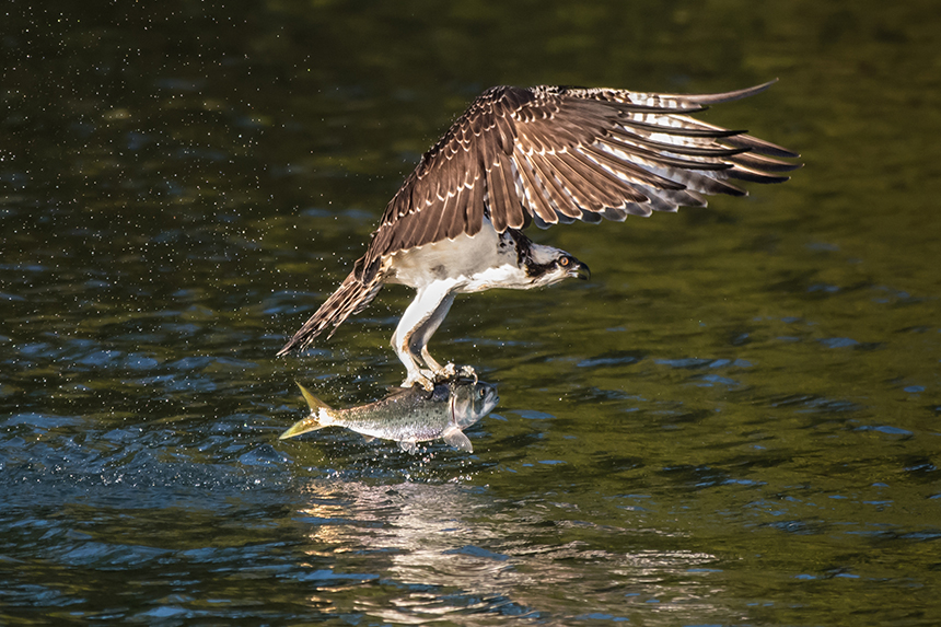 Menhaden are a favorite food of osprey and other wildlife. (istock)