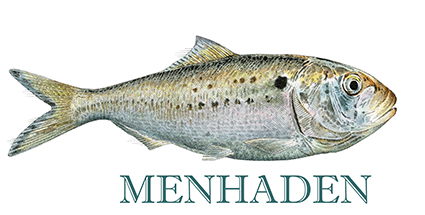 Menhaden are often referred to as 'the most important fish in the sea.'