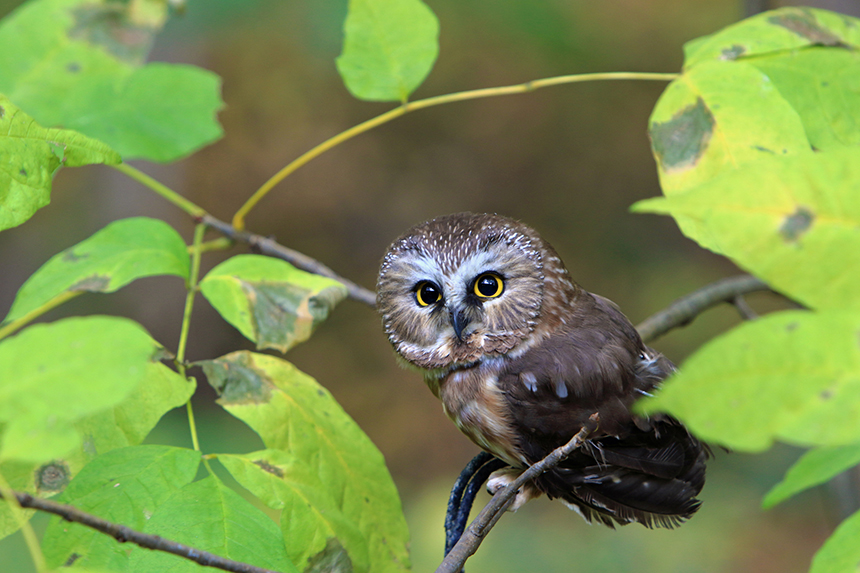 The number of saw-whet owls migrating through the Northeast rises and falls every other year based largely on the number of acorns and other seeds available. (Todd Maertz/istock)