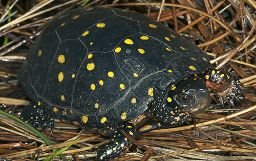 Spotted turtles were once common in Rhode Island. (Todd Pierson/for USFWS)