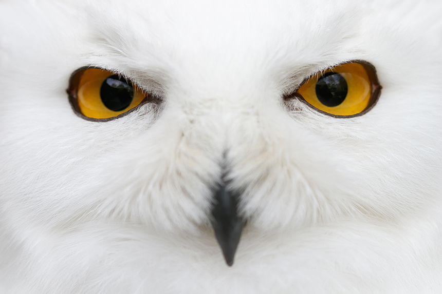 Their piercing yellow eyes make snowy owls unmistakable. (istock)