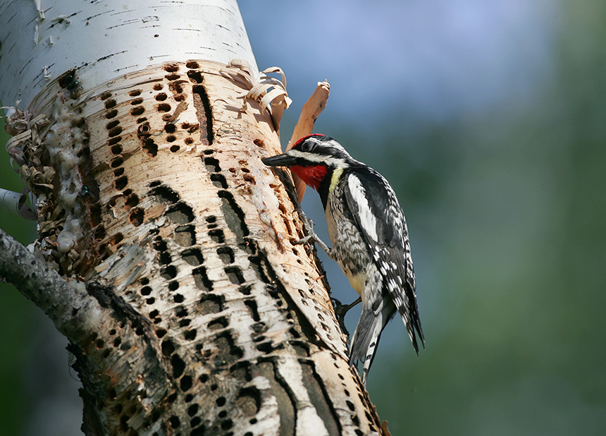 The return of the yellow-bellied sapsucker has been particularly noteworthy. (istock)