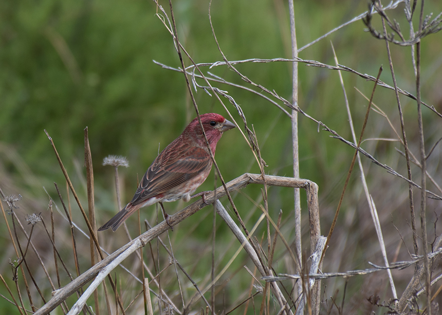 The species with the steepest decline since the last survey is the purple finch. (istock)
