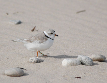 A banded piping plover at East Beach in Watch Hill, R.I., in 2010. (Russ Thompson)