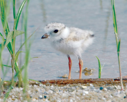 Piping plover chicks will be running around local beaches this summer. (USFWS)