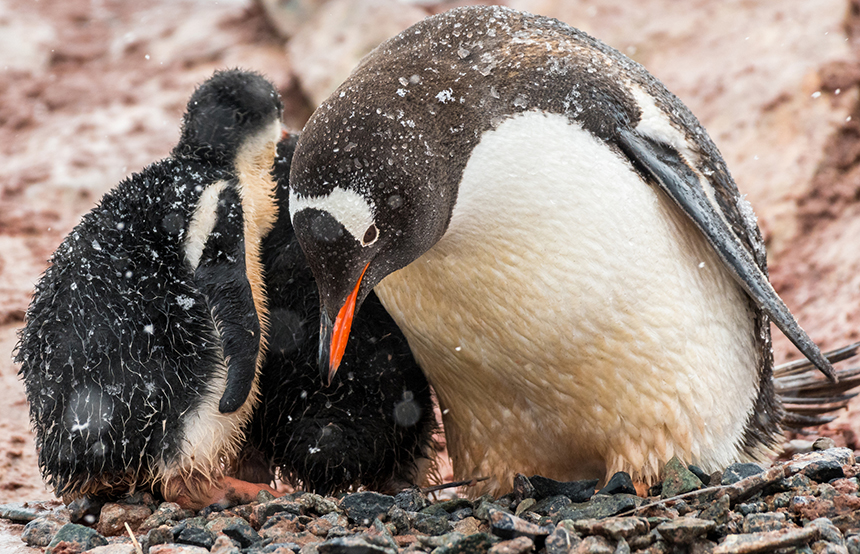By studying the isotope ratios of amino acids in the egg shells and feathers of wild Gentoo penguins and comparing them to those of museum specimens, URI's Kelton McMahon learned insights about how the environment in the Southern Ocean has changed. He's looking to do the same here using different species. (istock)