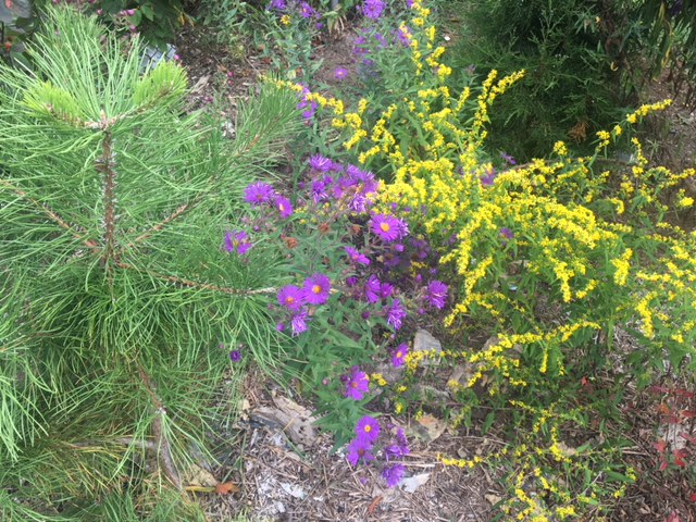 These native plants, from left, pitch pine, aster and goldenrod provide habitat and food for local insects and wildlife. (Anne Raver photos)