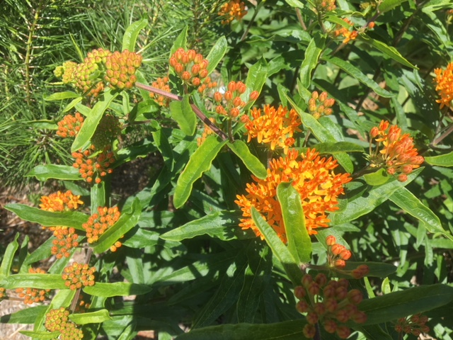 Butterfly weed thrives in local conditions.