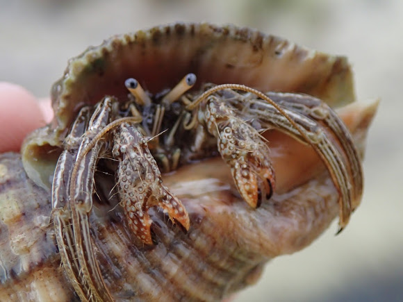 Thinstripe hermit crabs typically live in the Caribbean and range only as far north as Virginia. ( Project Noah )