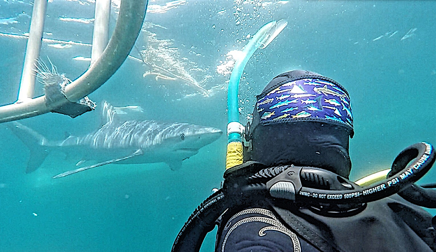 Interactions outside of the cage are engaging and memorable. Blue sharks aren't typically aggressive toward humans. However, they can become frisky and the diver must use good judgement to make use of the cage, or even exit the water.