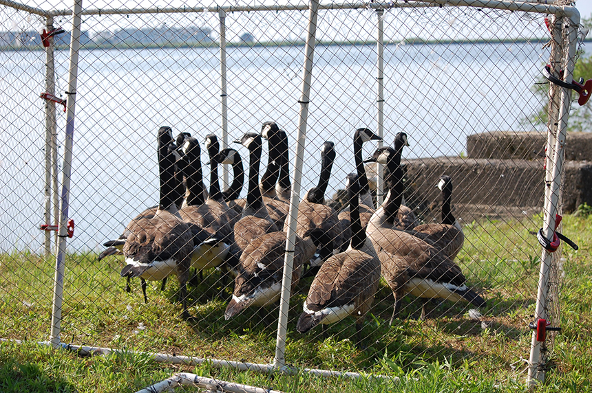 Biologists and volunteers banding 600 to 800 resident geese each summer.