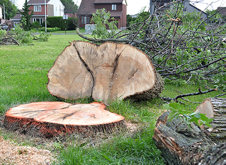 An ash tree in Canada felled by emerald ash borers. (istock)