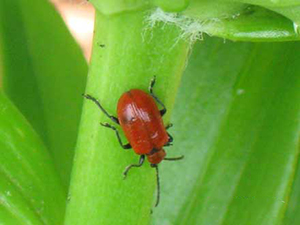 An adult lily leaf beetle. (T. Smith/UMass)