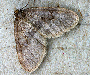 An adult winter moth.