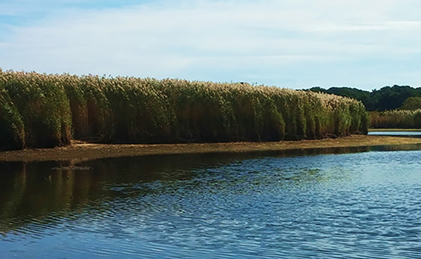 Phragmites are often controlled with the application of herbicides, which shouldn't be used in salt marshes and other coastal locations where this invasive species grows extensively. (ecoRI News)