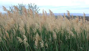 Phragmites are an invasive wetland plant.