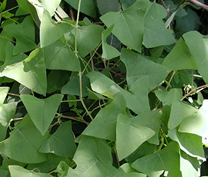 Mile-a-minute is an annual trailing vine that can reach lengths of 19 feet or more. (Leslie J. Mehrhoff/Bugwood.org)