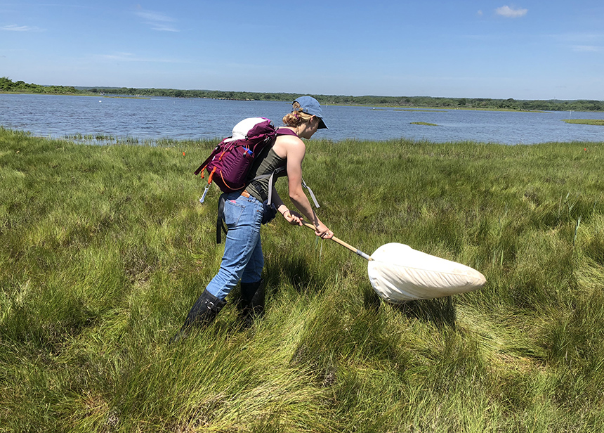 URI student Becky Gumbrewicz swings a net to collect insects at a salt marsh during her summer research. (Courtesy photo)