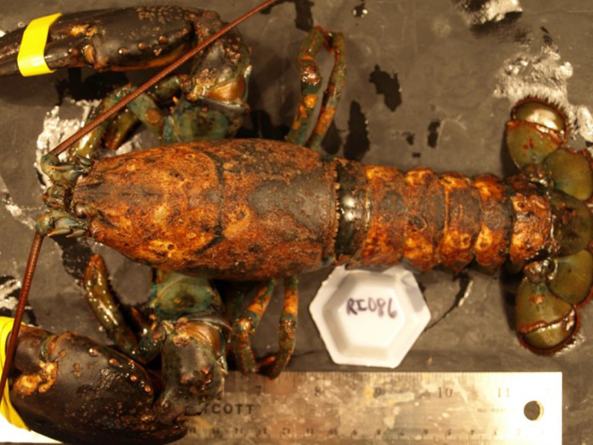 Epizootic shell disease can lead to pitting, erosion, and the darkening of a lobster's carapace. Survival of moderately and severely diseased lobsters, those with disease on more than 10 percent of their cuticle, is only 30 percent that of healthy animals. (Jeff Shields/VIMS)