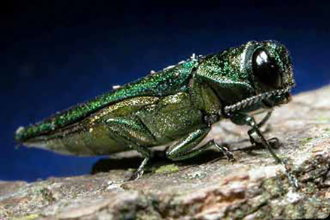 An emerald ash borer. (David Cappaert/Michigan State University)