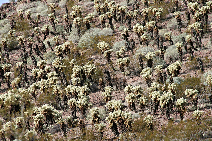 There are miles and miles of this Buckhorn Cholla in the gorgeous Arizona desert.