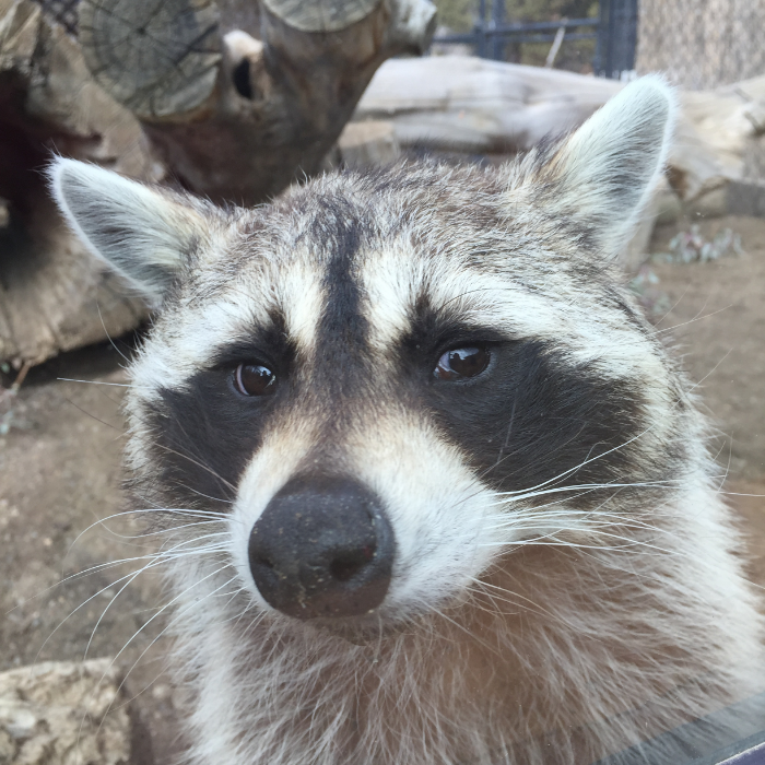 Ringo is a rescued racoon raised by a family from Texas. On a family vacation to Reno he wandered off. Due to permit violation he was unable to return to Texas. He now has a home at Animal Ark.