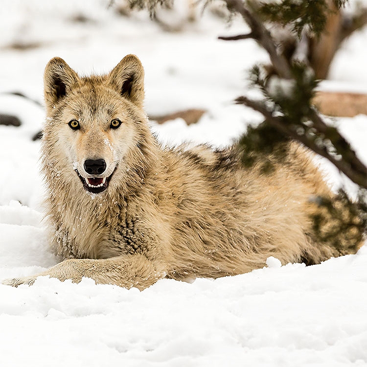 The wolf pup, Timon, arrived in 2015 with his two siblings from Pennsylvania. (Photo credit Susan Koppel courtesy of the Animal Ark)