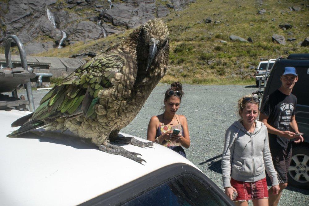 a kea