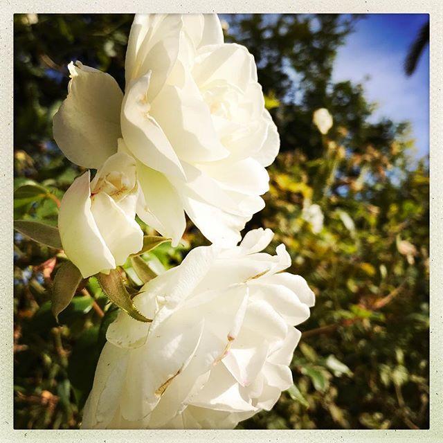 Monday metamorphosis | Incarnation 🌿 #FlowerLovers #MondayMotivation #White #Roses #MyPHX ✨ Xx C A E
