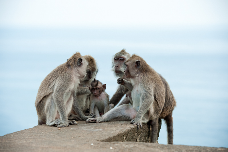 Family of monkeys looking after each other