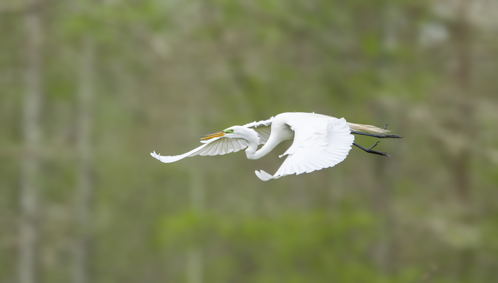 140402-Great_Egret-023-Edit.jpg