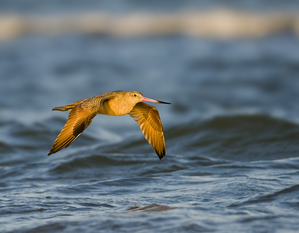 111011-Marbled_Godwit-003-Edit.jpg
