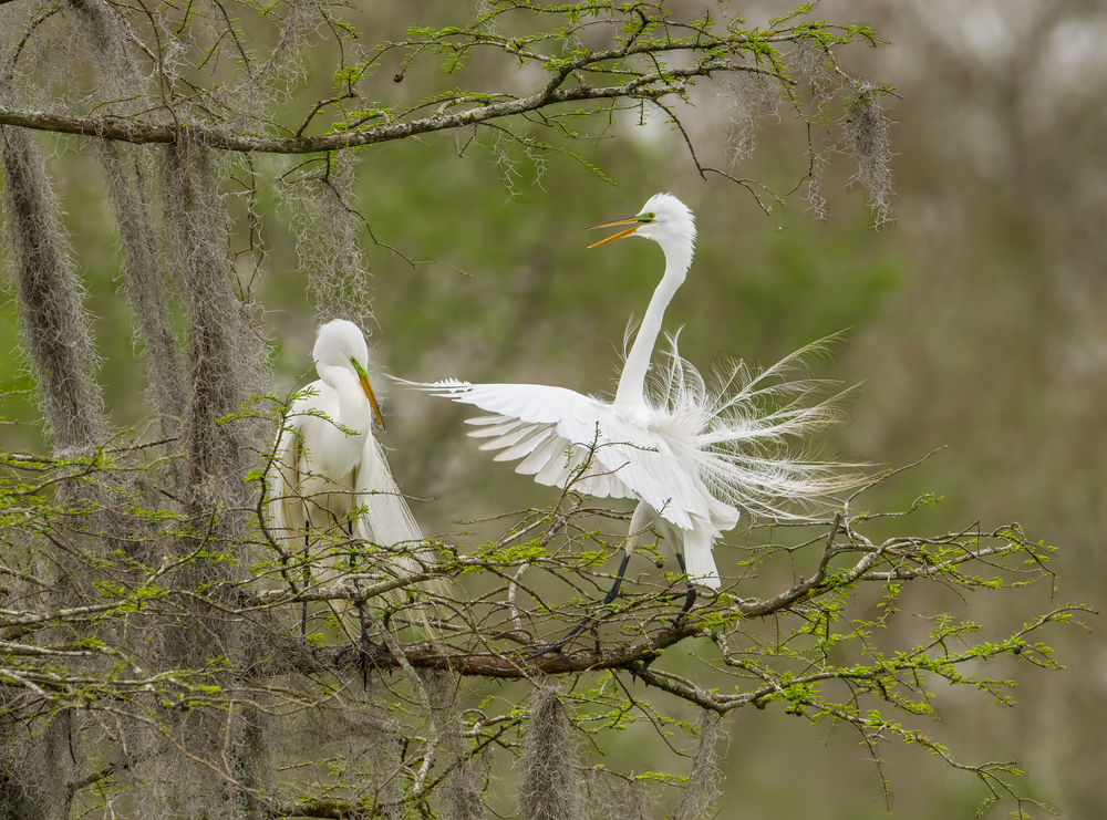 140402-Great_Egret-064-2.jpg