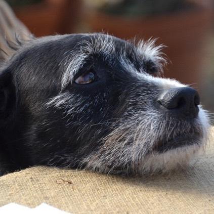 Our senior girl Crusty..one of the best faces ever #warwickfarm #dogsofwarwick